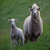 quien-esta-robando-las-ovejas